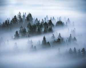 photo of pine trees covered by fog